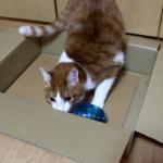 餌欲しさにおもちゃに夢中(*´艸`*)つい頑張れと応援したくなる猫のエサ遊び
