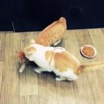 友達にごはんを食べさせたくない猫ちゃん!食事を監視しイジワルしまくりっ!!( `ー´)ノ「全部ボクの!」