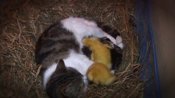 三匹のアヒルのお母さんになった優しい猫!自分の子供と同じように愛情たっぷりに育てる姿にほっこり♡