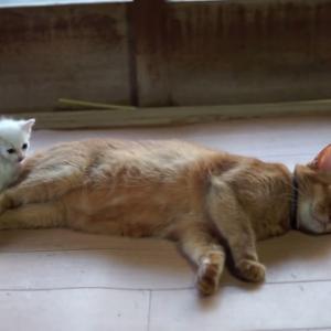 保護されたばかりの子猫ちゃん、先輩猫にピタッ(´・ω・`)