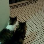 【まちぶせ】仕事から帰って来るパパを家の前でソワソワしながら待ち続ける二匹の猫ちゃん・・・♡