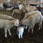 羊たちのアイドル的存在の一匹の猫ちゃん♡
