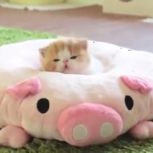 平ぺったい豚のクッションに埋もれる子猫(´∀`*)猫もクッションも可愛すぎ♥