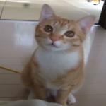 遊んでよ~(´・ω・`)小麦色の猫ちゃんの甘える声が可愛すぎる(*´艸`*)