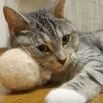 姉猫100パーセントの毛玉ボールに大興奮!日頃の恨み…今晴らすニャン!!