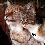 ネコとヤマネコの小さな恋♡慈しみ合うラブラブな姿が感動的すぎる♡