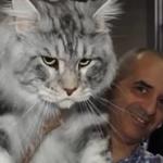 コラでもトラでもないよ!超巨大ネコのメインクーンがデカカワイイwww