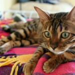 猫なのに豹みたい!美しくて可愛いベンガル猫の魅力に大接近♡