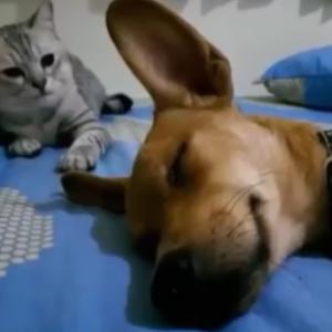 寝ている犬に強烈猫パンチ!その後何食わぬ顔で座る猫の白々しさが面白い♪