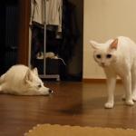 仲良しだけどたまにケンカ(´・ω・`)犬に文句を言う猫と、犬の反応が可愛いU^ェ^U