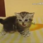 子猫のとにかく可愛い動画大集合♪癒やされまくります(*´艸`*)