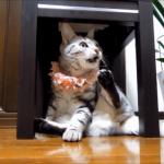 くさいニャン!自分のお尻の臭いを嗅いだときのドン引きした猫の表情が面白い( ´,_ゝ`)