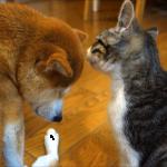 柴犬と仲良くなりたい子猫。微妙な距離感が可愛くて癒やされる♡