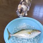 これは大きすぎるニャン^^;大きなお魚に困惑する猫の表情が面白い(*^^*)