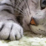 目ヤニ掃除が嫌すぎて失神!?行き倒れみたいになっちゃった猫が可愛い♡