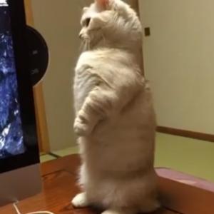 マンチカンの猫背が一瞬で治った!?驚異の猫背矯正マシンが凄すぎるwww