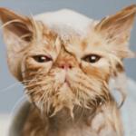 もはや衝撃映像w水に濡れたネコがまるで宇宙人みたい(ΦωΦ)!