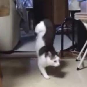 逆立ちする猫!?器用に前足だけで2足歩行する猫がオモシロ可愛い♪