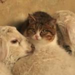 -35度の極寒に耐え切れず羊で暖をとるネコ♪受け入れる羊も優しい…♡