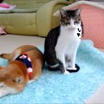 ファンヒーターでぬくぬく♪柴犬と甘えん坊の猫が暖まる姿がほのぼのする(^^)