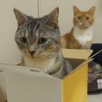 やっぱりここが落ち着くニャン♪お気に入りの箱に入ってご満悦な猫と、羨ましがる猫(*´艸`*)
