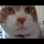 「おきてニャン♪」毎朝起こしにくる猫の起こし方が可愛い(●´ω`●)