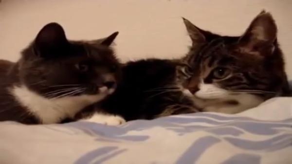 世間話をする猫たち♪猫語で何言ってるかかわからないけど、鳴き声が可愛い(*´艸`*)