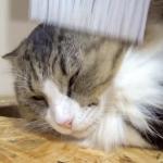 貫禄ある猫がデレデレに(*´艸`*)頭をほうきで撫でてみた♪
