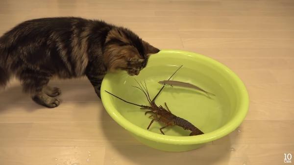 伊勢海老vs猫!活きの良さが勝負!勝つのはどっち