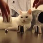 正解率100%!カップシャッフルでボールの位置をあてる猫がすごすぎる!