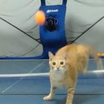 卓球を楽しむネコちゃん♪百発百中でボールを打ち返す姿が勇ましい!!