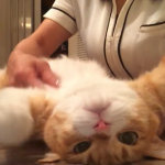 「そこもっとニャ~」ゴッドハンド整体師のマッサージを気持ちよさそうに受ける猫ww
