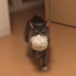 「これがないと落ち着かニャイ♡」お気に入りのぬいぐるみをせっせと運ぶ猫♡