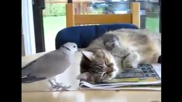 お願いだから寝かせてあげて!猫を起こそうと必死な鳩がいい加減しつこいwww