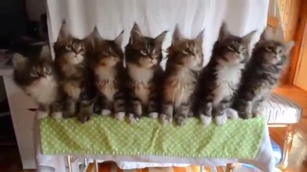 レッツダンシング!!7匹の子猫による一糸乱れぬ動きがお見事www