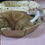 ど、どうしたらいいニャ!?子猫との接し方がわからない大きな猫の戸惑ぶり