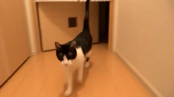 玄関開けたら2秒でにゃんこ♪必ずお出迎えしてくれる猫が超かわいい~♡