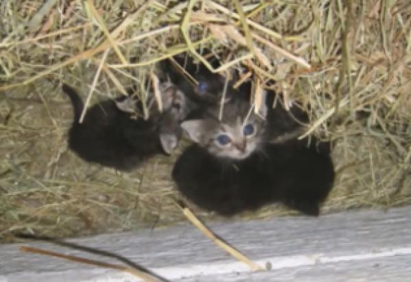 我が子の様に子猫を温めるニワトリ!?その時子猫たちの母猫がいた場所とは…?