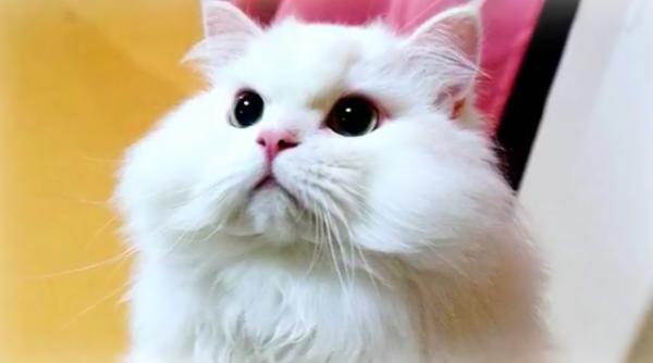 獣医に見捨てられた猫が奇跡の大回復!本当はモフモフな美猫さんだった♡