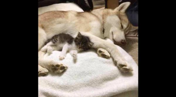 犬に育てられた猫が愛を知り、愛を与える側へ…その様子に胸が震える…!