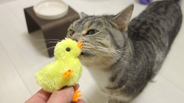 微笑ましくて見入ってしまう♡ひよこのおもちゃで遊ぶ猫♡