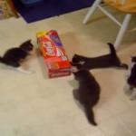 箱をめぐって大騒ぎ!!やんちゃ盛りの四匹の子猫ちゃんたちの大バトル