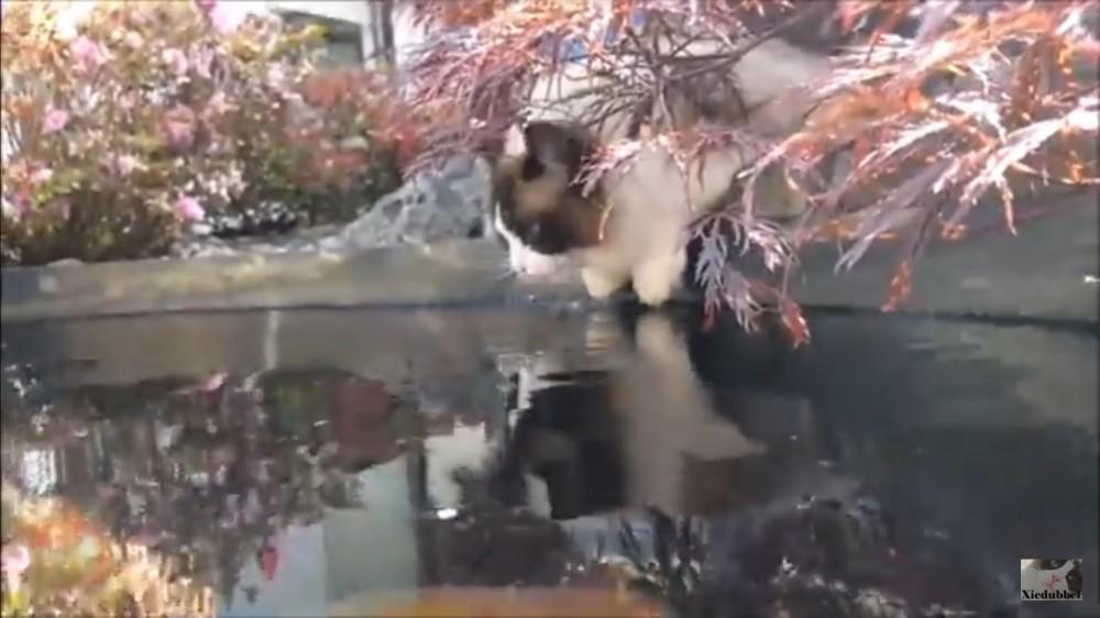 犬猿の仲のはずの魚と猫が!まさかの…。鯉にタッチしちゃうのほほん猫ちゃん。