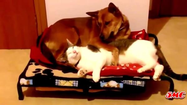 「ぜったい譲らにゃいw」犬からベッドを取り上げる猫たちがひどいww