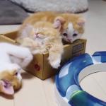 やっぱりママ大好き♡可愛すぎるマンチカンの子猫たち