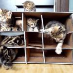 段ボールの砦に子猫がいっぱい~!!ニャングルジムで遊ぶ子猫たち!