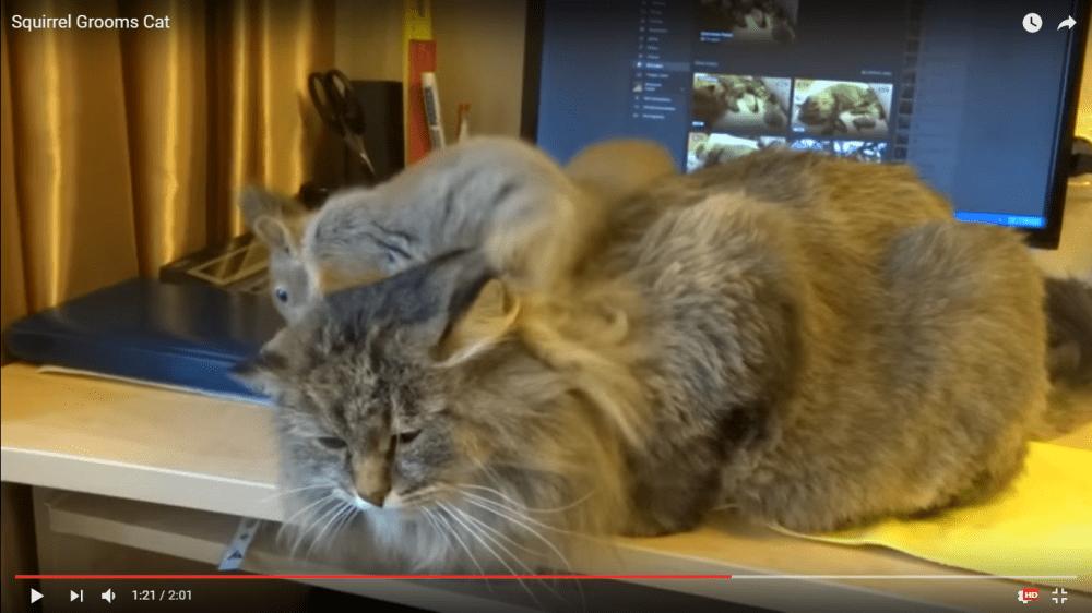 リスにブラッシングされる猫ちゃん♡その様子はまるで借りてきた猫?(笑)