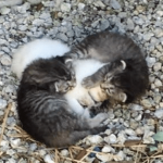母猫を探せ!路上で震える子猫を包み込む兄弟猫たち