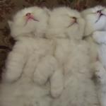 ふわふわ子猫ちゃんのお昼寝タイム♪無防備に爆睡する三匹の天使たち♡
