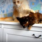 『さぁ、跳ぶんだ!』子猫にメインクーンがスパルタ教育?!